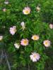 Přírodní památka Kavky. Růže šípková.